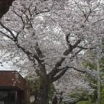 鎌倉山の桜。棟方版画美術館(休館中)前の桜。メインの道路と違い、車が少ないため真っ当に桜が楽しめます。