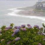 稲村ケ崎海浜公園のあじさい。海岸線に生きるその姿はあじさい本来の姿です。