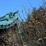 光則寺の梅。梅が咲く3月上旬、山茱萸(サンシュユ)も開花します。実は熟すと赤くなり、漢方薬に使われます。報国寺にも大きな山茱萸があります。