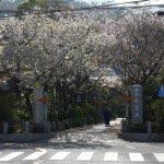 宝戒寺。宝戒寺の門前は手前が桜、奥が梅の並木になっています。