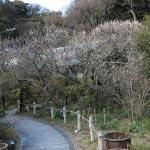 光則寺の梅。境内左右に梅が並びます。