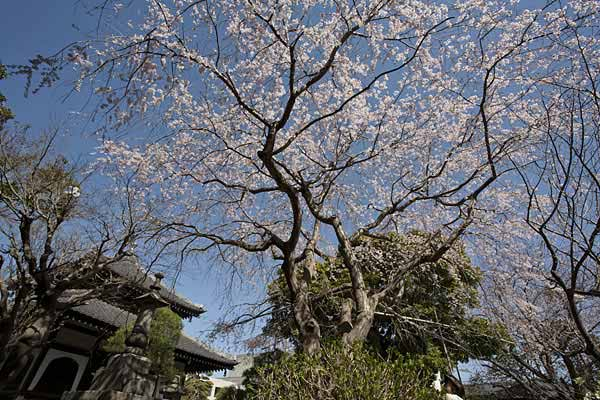 本覚寺の枝垂桜。カメラ撮影の集団とバッティングしたら不運。三脚が鬱陶しいことこの上ありません。この写真は無粋な三脚はなしです。