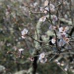 光則寺の梅は森々とした雰囲気が魅力。