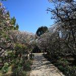 宝戒寺の梅並木。門の手前が桜、奥が梅になっています。