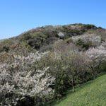 ハイランドの桜。桜並木も素晴らしいのですが、この富士見スポットの桜も鎌倉の山と桜、そして天気がよければ富士を望めます。