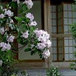長谷寺の石楠花。桜の頃から咲き始め、藤や牡丹とも一緒にみられます。