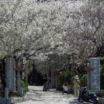 宝戒寺の桜並木。横大路の風物詩です。受付を境に億は梅並木になっています。