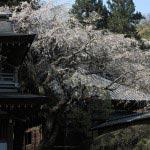 浄智寺の枝垂桜。本堂と門にかかりどっしりとした雰囲気です。
