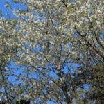 浄智寺の桜(立彼岸)。立彼岸は桜より1週間から10日早く咲くため、桜と同時に楽しむには時期をうまく計らなくてはいけません。