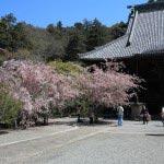 妙本寺の海棠。祖師堂の左右にあり左手には2本あります。一番左には枝垂桜もあります。