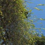 長谷寺の黄梅。春の温かい青い空と黄梅の黄色。