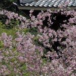 妙本寺の海棠。春に咲く海棠は新緑ともあいます。
