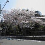 花の橋の桜。写真左端の道が報国寺へと至ります。