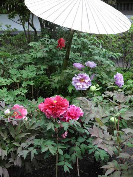 長谷寺の牡丹。山門から弁天窟に至る道に咲いています。