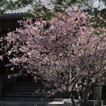 妙本寺の海棠(カイドウ)。鎌倉最大級の木造仏堂建築、祖師堂と新緑と海棠。