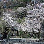 光則寺境内に入るとすぐに桜が満開。この並木は梅と桜です。