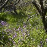瑞泉寺の諸葛菜(ショカッサイ)。梅林に咲いており、梅が終わると諸葛菜が咲きます。
