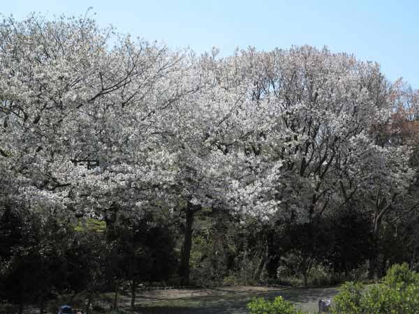 源氏山公園の桜は、公園の半面の周囲に咲いています。広場が広くとられているので花見にはうってつけ。