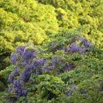 名越切通し山中の藤。大切岸から浄明寺方面に少し歩いたあたりです。藤棚も豪華ですが、山中にこつ然とあらわれる鮮やかさは格別。
