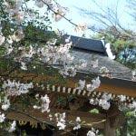 成就院の桜。