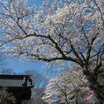 妙本寺、二天門付近の桜。
