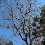 浄智寺の桜。鎌倉を代表する立彼岸。鎌倉市天然記念物に指定されています。