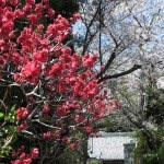 薬王寺の桜。並木の中程に八重桜があります。