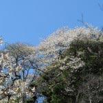 長谷寺眺望散策路にある山桜。