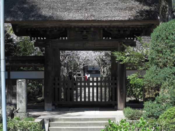 桜の季節の極楽寺。
