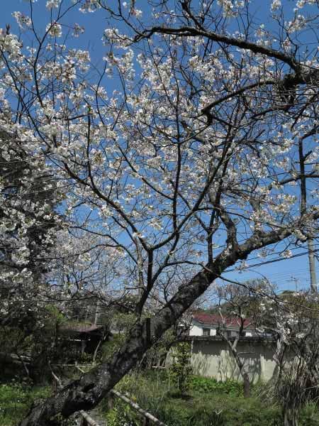 英勝寺の桜。鎌倉には近代的な高い建物があまりないため桜見物も晴れやかです。