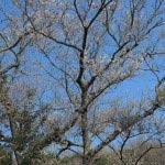 浄智寺のタチヒガン。他の木を圧して高く、花が空に映えます。