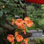 海蔵寺の凌霄花(ノウゼンカズラ)。梅雨の開けた頃、7月15日頃に撮りました。唐風の様がなんともいえません。