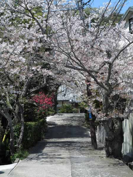 薬王寺の桜。なかなかの桜並木。何より静かなのがよいです。