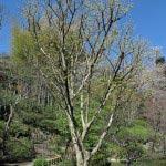 長谷寺の山茱萸(サンシュユ)。受付を入ってすぐ左手にあります。