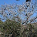 浄智寺の桜(立彼岸)。立彼岸の株は二つあり、高さは20mあります。