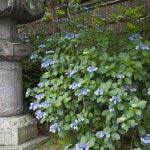 安国論寺山門の右脇にあじさいがあり開花の目安にもなります。