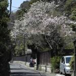 鎌倉市川喜多映画記念館の桜。賑やかな通りを一本入っただけですが、とても静かになります。