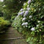 安国論寺のあじさい。ふりそそぐように咲いています。