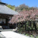 光則寺は桜と前後して名物、樹齢200年の海棠が咲きます。この年は桜がほぼ満開で海棠が7分程。例年海棠の方が後ですが、先に咲いてしまうこともあります。