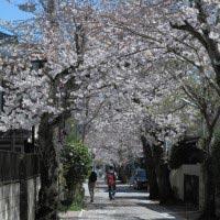 大倉幕府跡石碑のある十字路を中心に長い桜並木がつくられています。