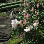 長谷寺、桜の季節にもう一つ楽しみにしているのがこの石楠花(シャクナゲ)。ツツジ科の常緑低木で本来深い山に自生しています。赤も鮮やかですが、白の石楠花は慎ましくて魅力的。