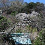 光則寺山門から山桜をみます。
