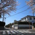 ハイランドの桜。「東泉水」信号を曲がって桜並木の道を上ってくるとこのあたりで桜並木が途切れます。この先は富士と桜が見られるスポットです。