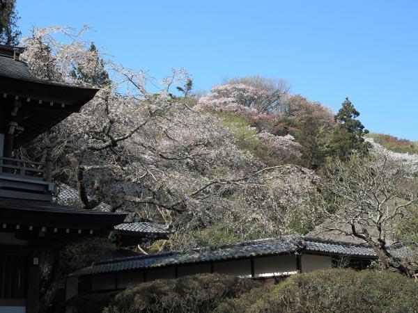 浄智寺の桜。背後の枝垂桜も見所。