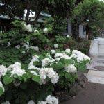 長谷寺の大手毬(オオデマリ)。山門近くに咲きます。