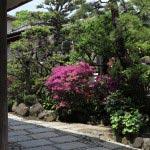 江ノ島表参道の岩本楼本館の脇に咲いていた躑躅(ツツジ)。