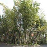 法源寺前の竹林。