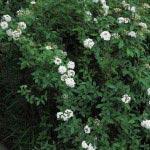 長谷寺の小手毬(コデマリ)。山門近くに咲いていました。近くには大手毬(オオデマリ)もあります。
