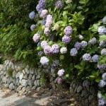 『続・最後から二番目の恋』第7話で柴田理恵演じる伊佐山市長が苦しそうに上っていた階段がこのあたりです。ちょうどきれいなあじさいが咲きます。