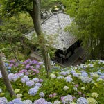 長谷寺には2,500株ものあじさいが植えられています。斜面を埋め尽くす様は圧巻。
